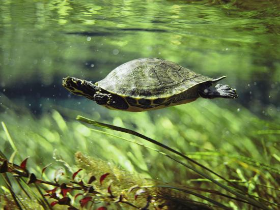 bill-curtsinger-a-freshwater-turtle-swimming-underwater