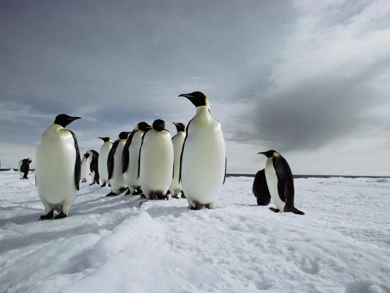 bill-curtsinger-a-group-of-emperor-penguins-strolling-in-the-snow