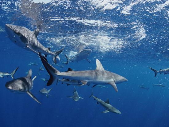 bill-curtsinger-a-school-of-gray-reef-sharks-swim-in-different-directions