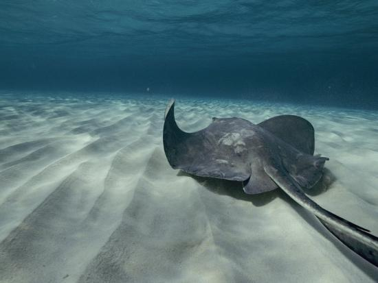 bill-curtsinger-a-southern-stingray-swims-near-the-ocean-bed