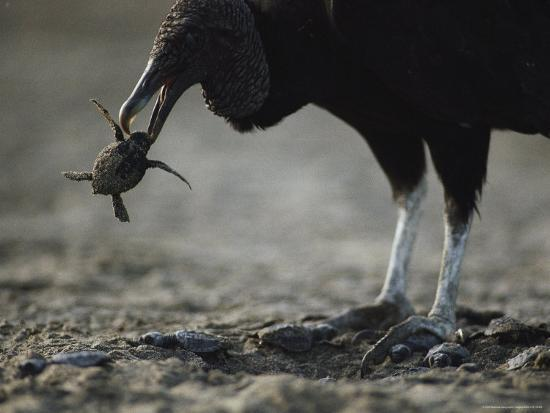 bill-curtsinger-a-vulture-eating-a-newly-hatched-sea-turtle-emerging-from-its-nest