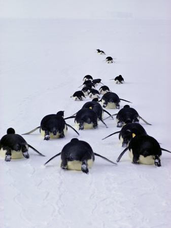 bill-curtsinger-emperor-penguins-aptenodytes-forsteri-tobogan-on-their-bellies