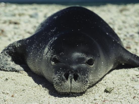 bill-curtsinger-hawaiian-monk-seal