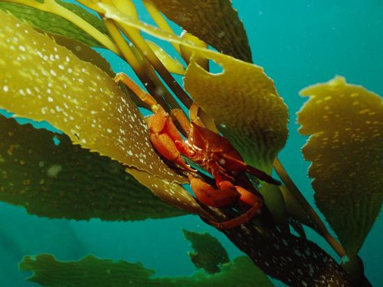 bill-curtsinger-red-crab-on-a-kelp-plant-close-view