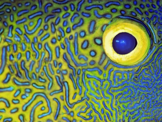 bill-varie-blue-and-yellow-triggerfish-eye