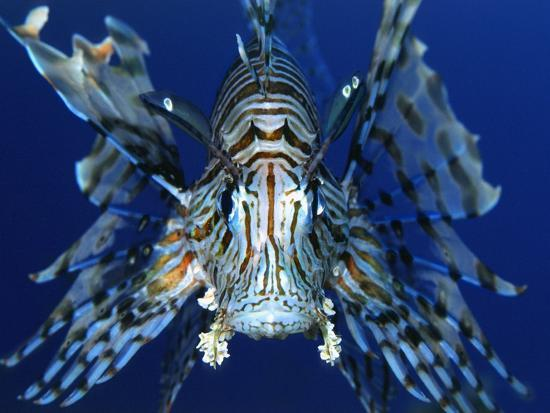 bill-varie-red-lionfish