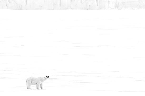bill-young-norway-arctic-ocean-svalbard-polar-bear-on-ice-shelf