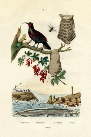 bird-of-paradise-1833-39