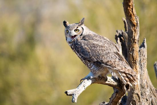birdiegal-great-horned-owl-arizona