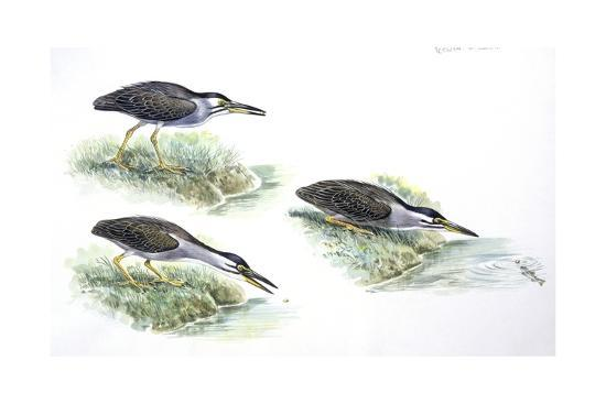 birds-ciconiiformes-green-heron-butorides-virescens-catching-fish-stages