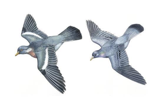 birds-columbiformes-stock-pigeon-or-stock-dove-columba-oenas-and-wood-pigeon-columba-palumbus