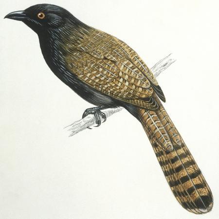 birds-cuculiformes-pheasant-coucal-centropus-phasianinus