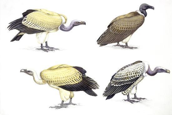 birds-falconiformes