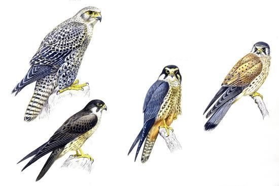 birds-falconiformes