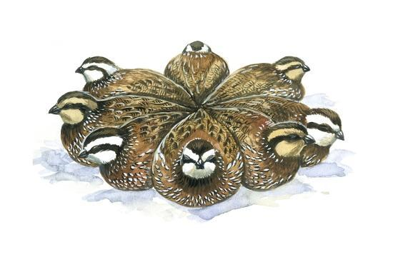 birds-galliformes-bobwhite-quails-colinus-virginianus-huddling-in-circle-on-winter-night