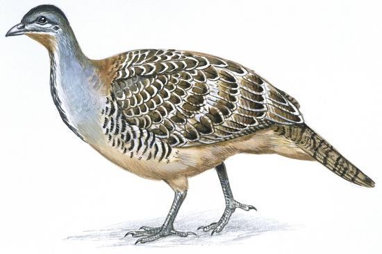 birds-galliformes-malleefowl-leipoa-ocellata