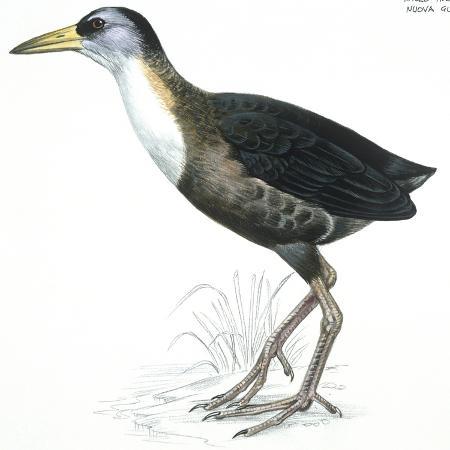 birds-gruiformes-white-striped-forest-rail-rallina-leucospila