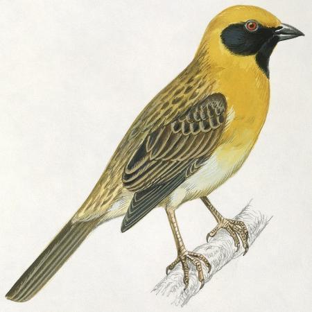 birds-passeriformes-baya-weaver-ploceus-philippinus