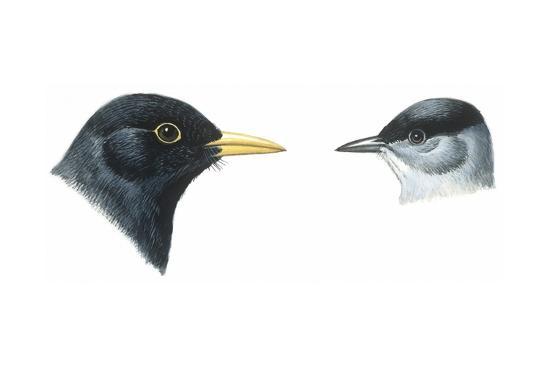 birds-passeriformes-heads-of-blackbird-turdus-merula-and-blackcap-sylvia-atricapilla