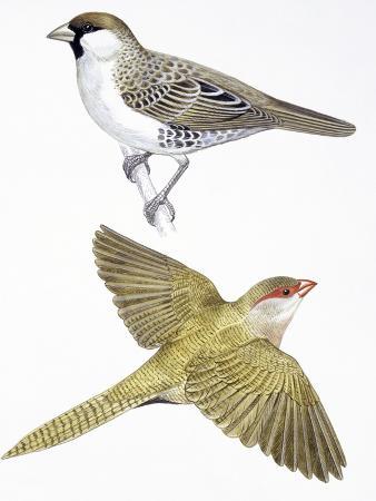 birds-passeriformes-social-weaver-philetairus-socius