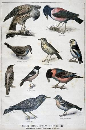 birds-that-are-protected-and-helpful-in-agriculture-1897