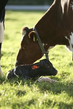 bjorn-svensson-cow-and-newborn-calf