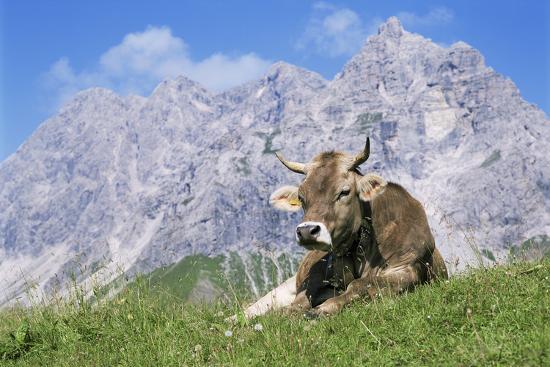bjorn-svensson-cow