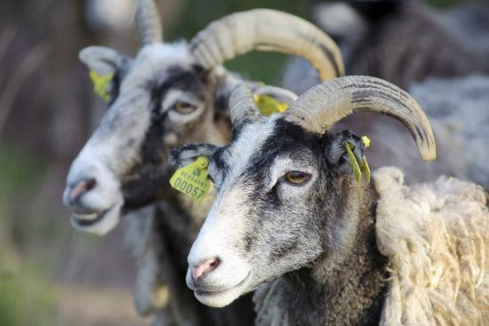 bjorn-svensson-sheep-from-gotland-sweden