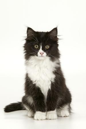 black-and-white-kitten