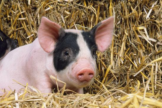 black-and-white-piglet-in-straw