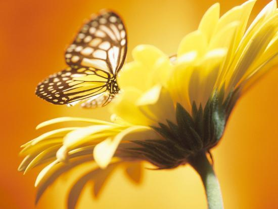 black-and-yellow-butterfly-on-yellow-flower