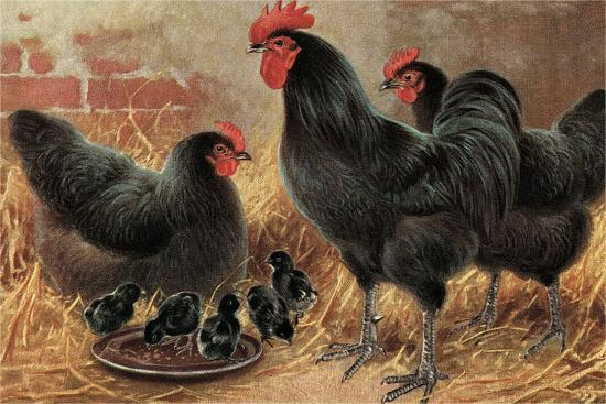 black-chickens