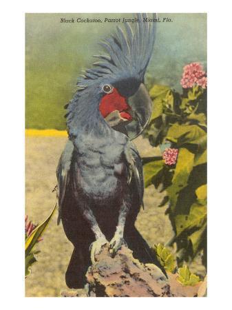 black-cockatoo-miami-florida