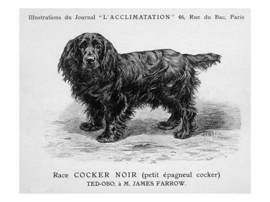 black-cocker-spaniel-dog-standing-side-on-with-his-head-turned-face-on