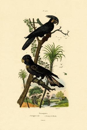 black-palm-cockatoo-1833-39