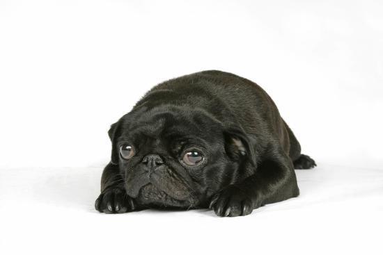 black-pug-puppy-6-weeks-old-lying-down
