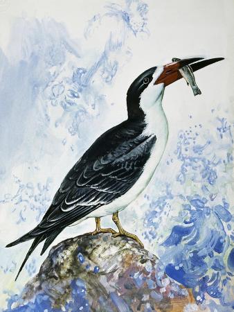black-skimmer-rynchops-niger-laridae
