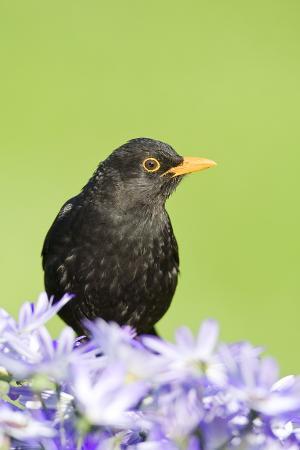blackbird-male