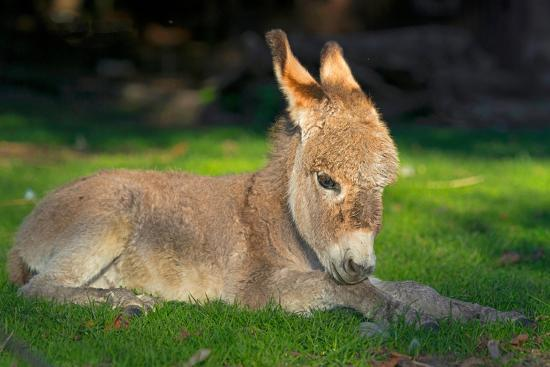 blickwinkel-wilken-domestic-donkey-equus-asinus-asinus-foal-lays-in-a-meadow-germany-north-rhine-westphalia