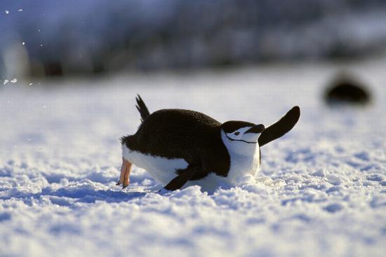 blickwinkel-wothe-bearded-penguin-pygoscelis-antarcticus-chinstrap-penguin-tobogganing-zavodovski-island