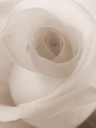 blooming-white-rose