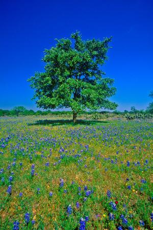 bluebonnets-in-bloom-with-tree-on-hill-spring-willow-city-loop-road-tx