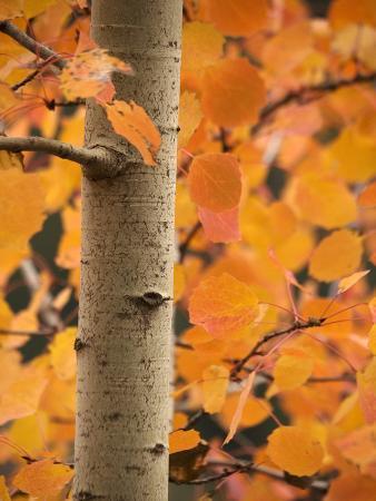 bob-gibbons-aspen-populus-tremula