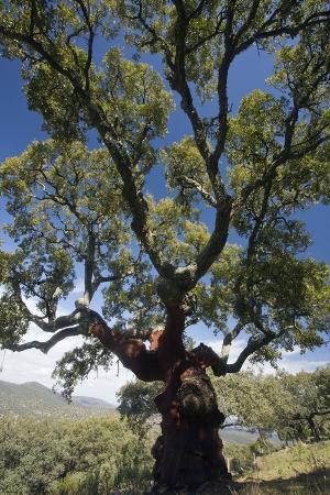 bob-gibbons-cork-oak-quercus-suber-trees