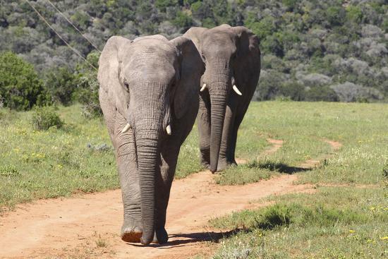 bob-langrish-african-elephants-065