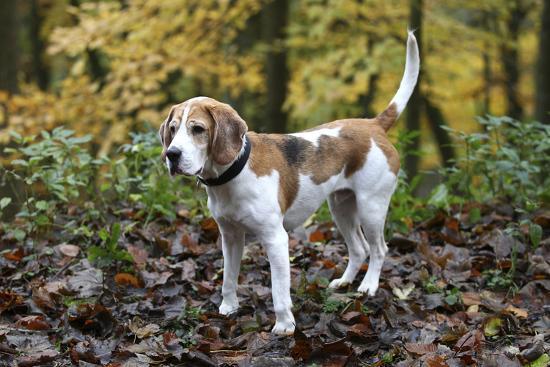 bob-langrish-beagle-05