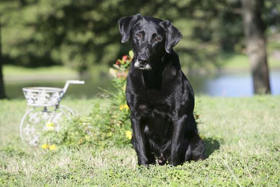 bob-langrish-black-labrador-retriever-13