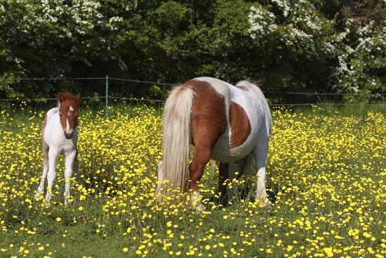 bob-langrish-shetland-pony-018