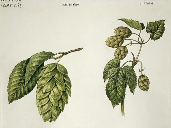botany-trees-immature-fruits-of-hop-hornbeam-ostrya-carpinifolia-and-common-hops-humulus-lupulus
