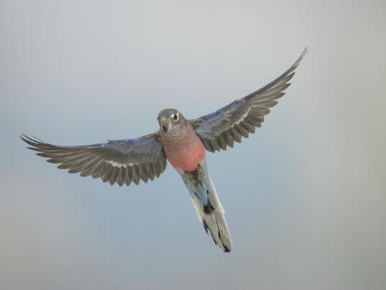 bourkes-parakeet-male-in-flight-front-view